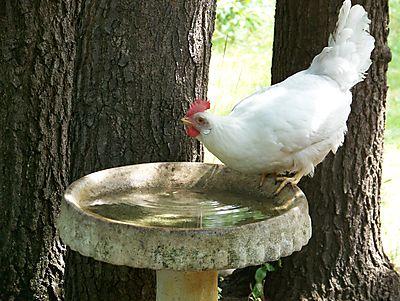 Leghorn at birdbath