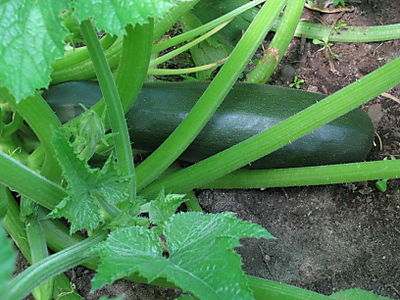 First zucchini of 2008 season