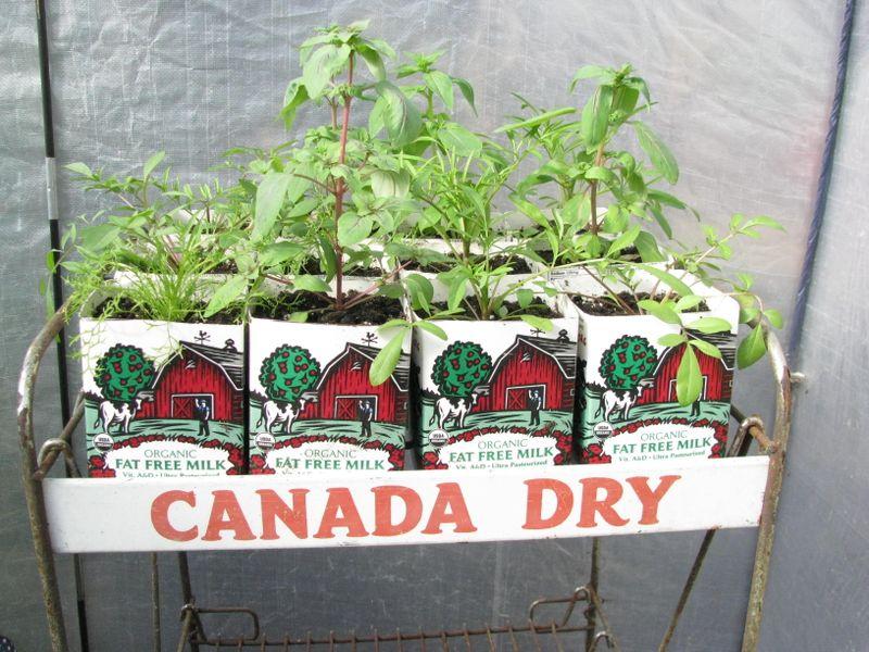 Wildflower seedlings transplanted