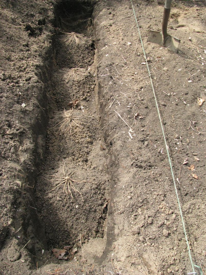 Asparagus trench