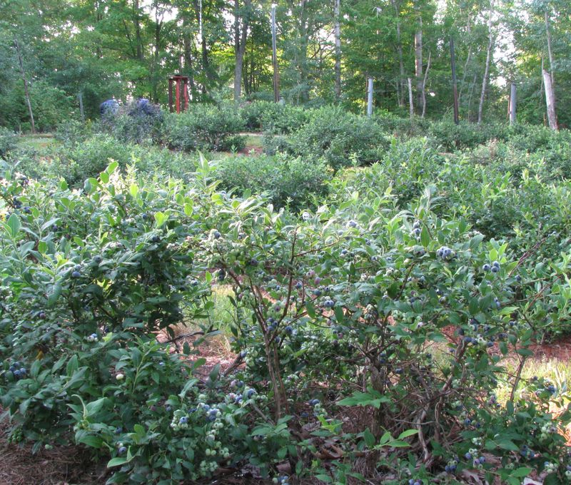 Blueberry patch