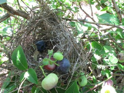 Blueberry bush nest