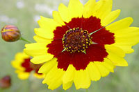Plains coreopsis wildflower info