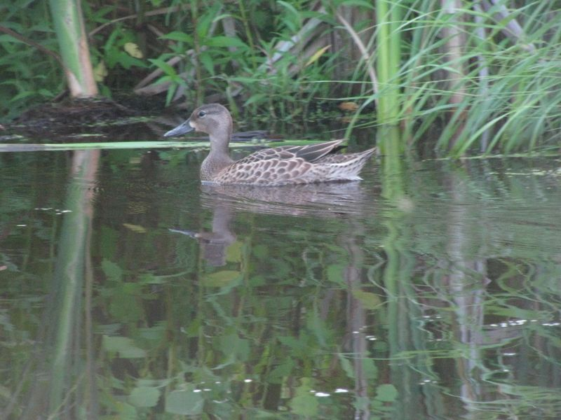 Duck in wetlands