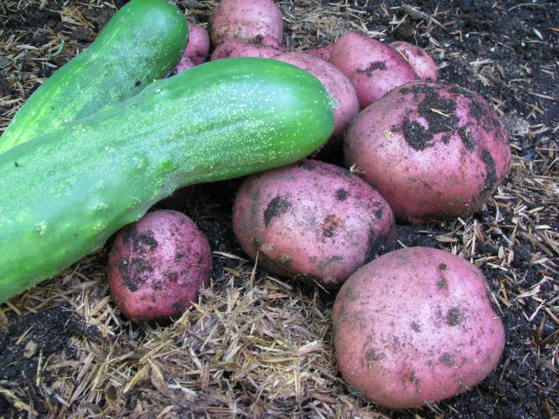 Potatoes and cukes