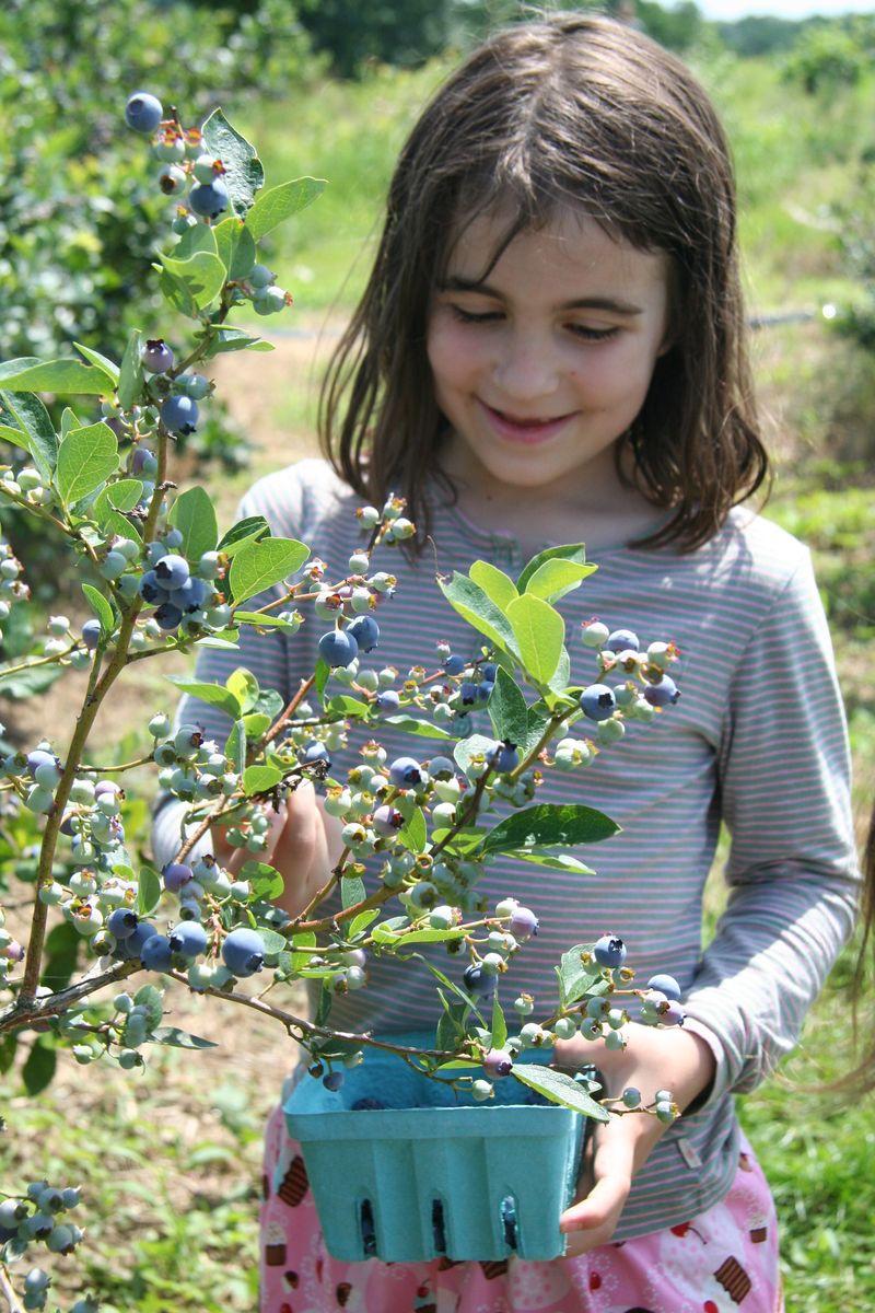 Madigan blueberries closeup 2009