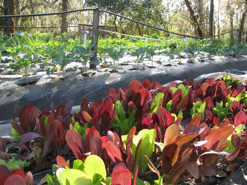 Leaf lettuce at farm 2-26-10