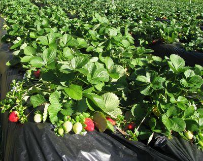 Strawberries at farm 2-26-10