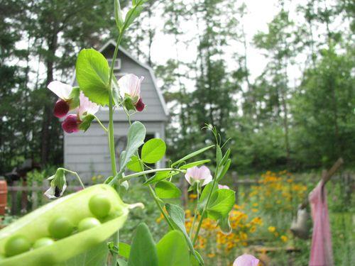 Peas + blossoms