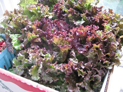 Leaf lettuce csa