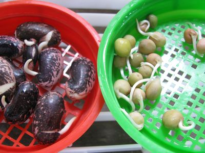Scarlet runner bean and dwarf gray sugar pea