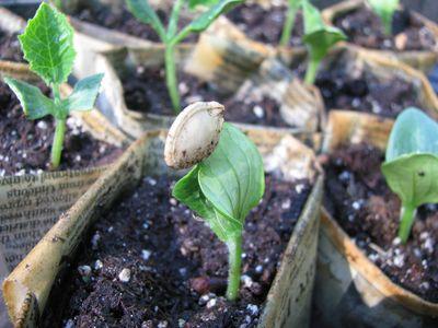 Cucurbit seed