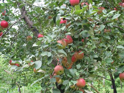 Apple tree connie