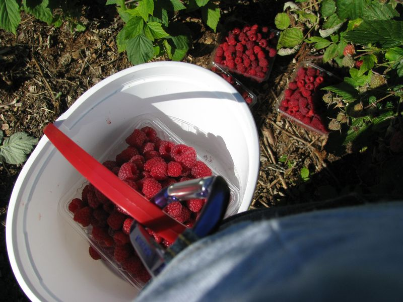 Raspberries in bucket