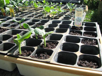 Org gardening class zucchini seedlings