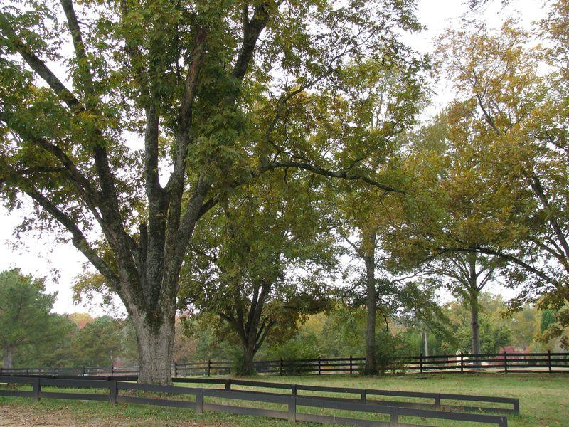 Serenbe pecan tree