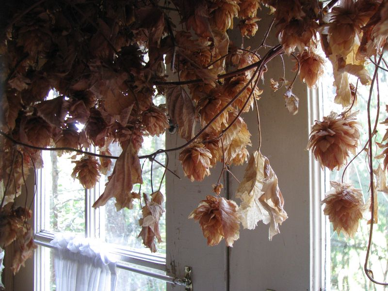 Hops window garland