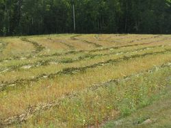 Buckwheat field mowed