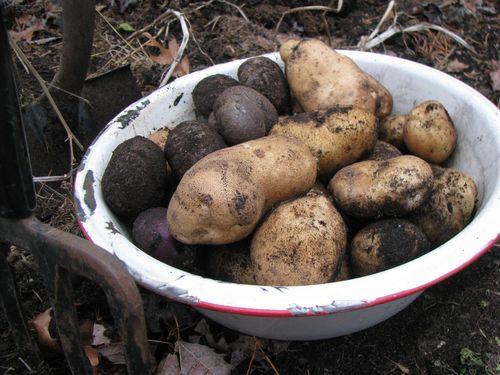Final potato digging