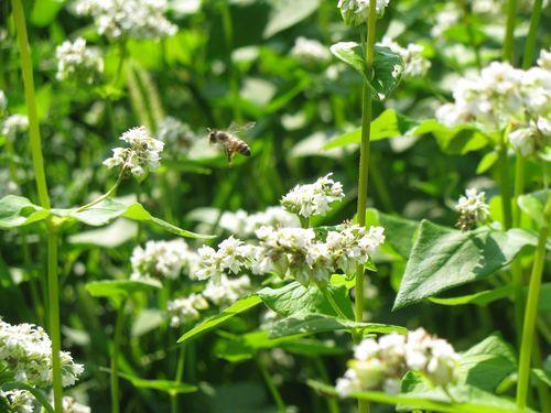 Buckwheat blossoms bee