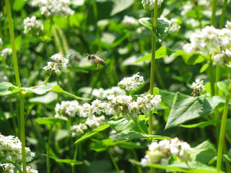 Buckwheat blossoms bee