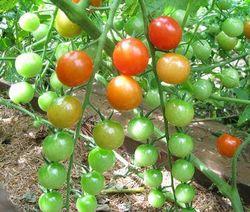 Sweetie cherry tomato