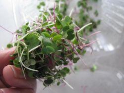 Locally grown microgreens