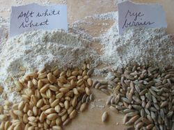 Wheat rye