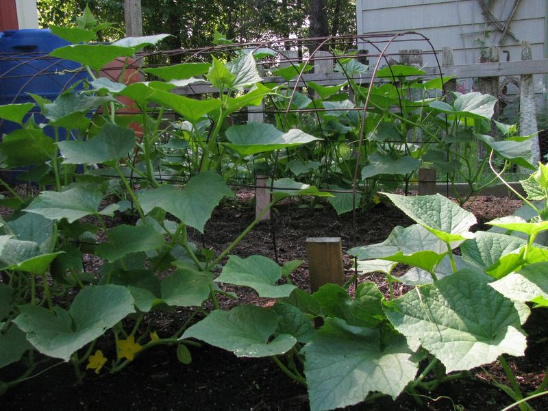 Cuke tunnel