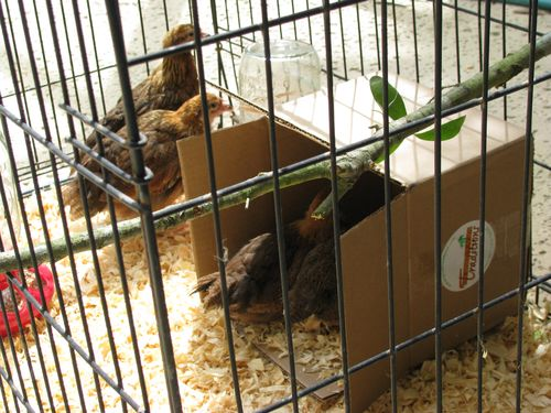 Welsummer pullets roost and box