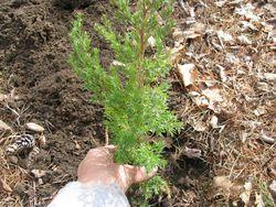Planting conifer