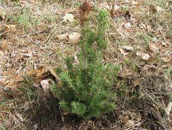 Pine tree transplant