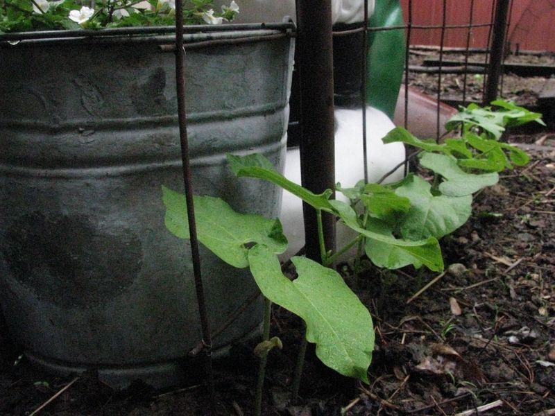 Soup bean plants