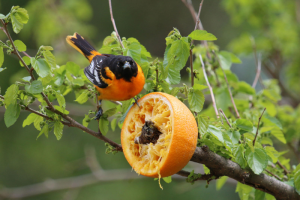 Branch orange feeder