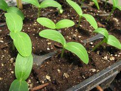 Heirloom cuke seedlings