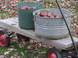Potatoes on wagon