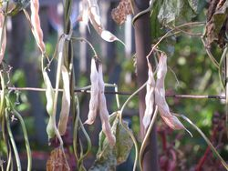 Dried bean pods