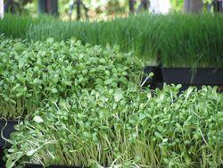 Wheatgrass + sunflower greens