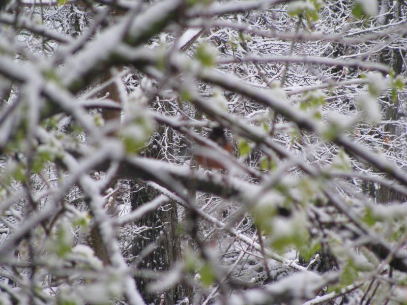Oriole on snowy branch