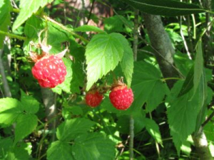 Wild raspberry bushes