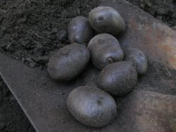 Purple potatoes dug