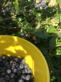 Blueberries in pail