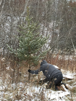 Cutting jackpine