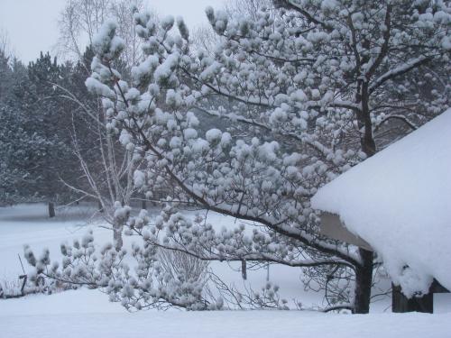 Jackpine snow cotton balls