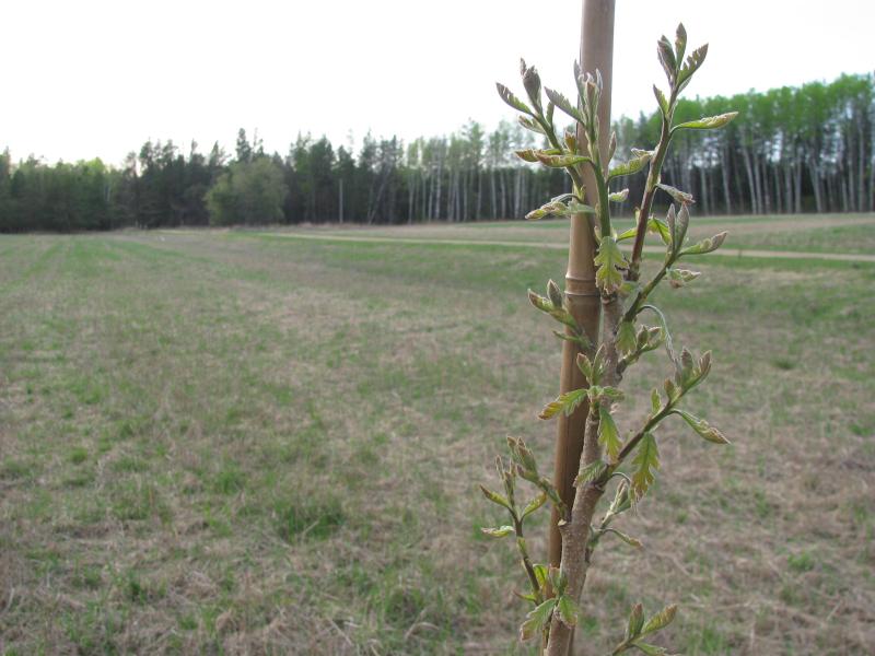 Burr oak new leaves