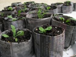 Seedlings in newspaper pots