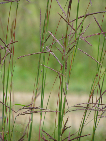 Variegated grass along driveway